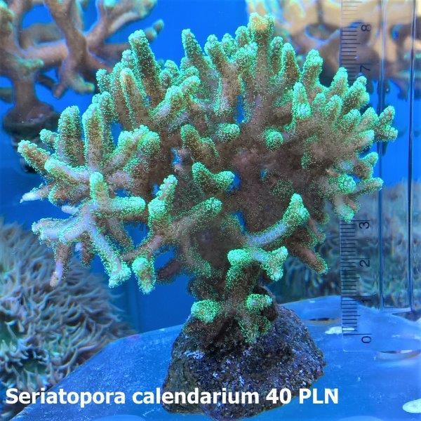Seriatopora calendarium.jpg