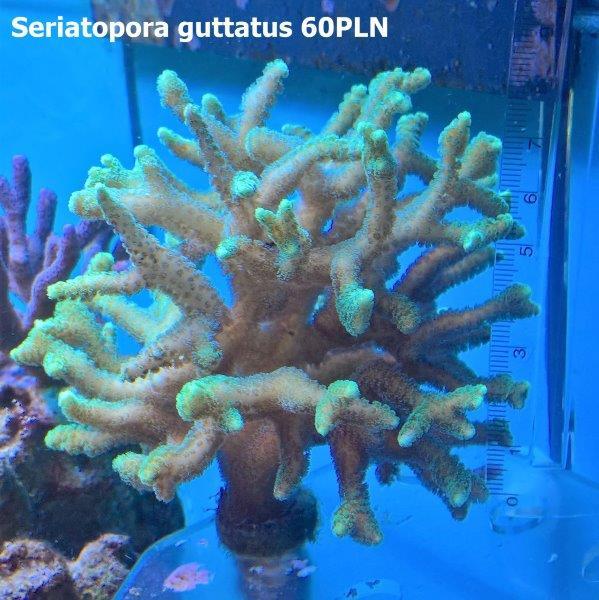 seriatopora guttatus 1.jpg