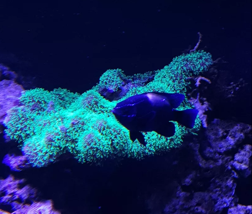 Screenshot_2020-03-01 Rybka morska garbik Neoglyphidodon oxyodon 2szt.png